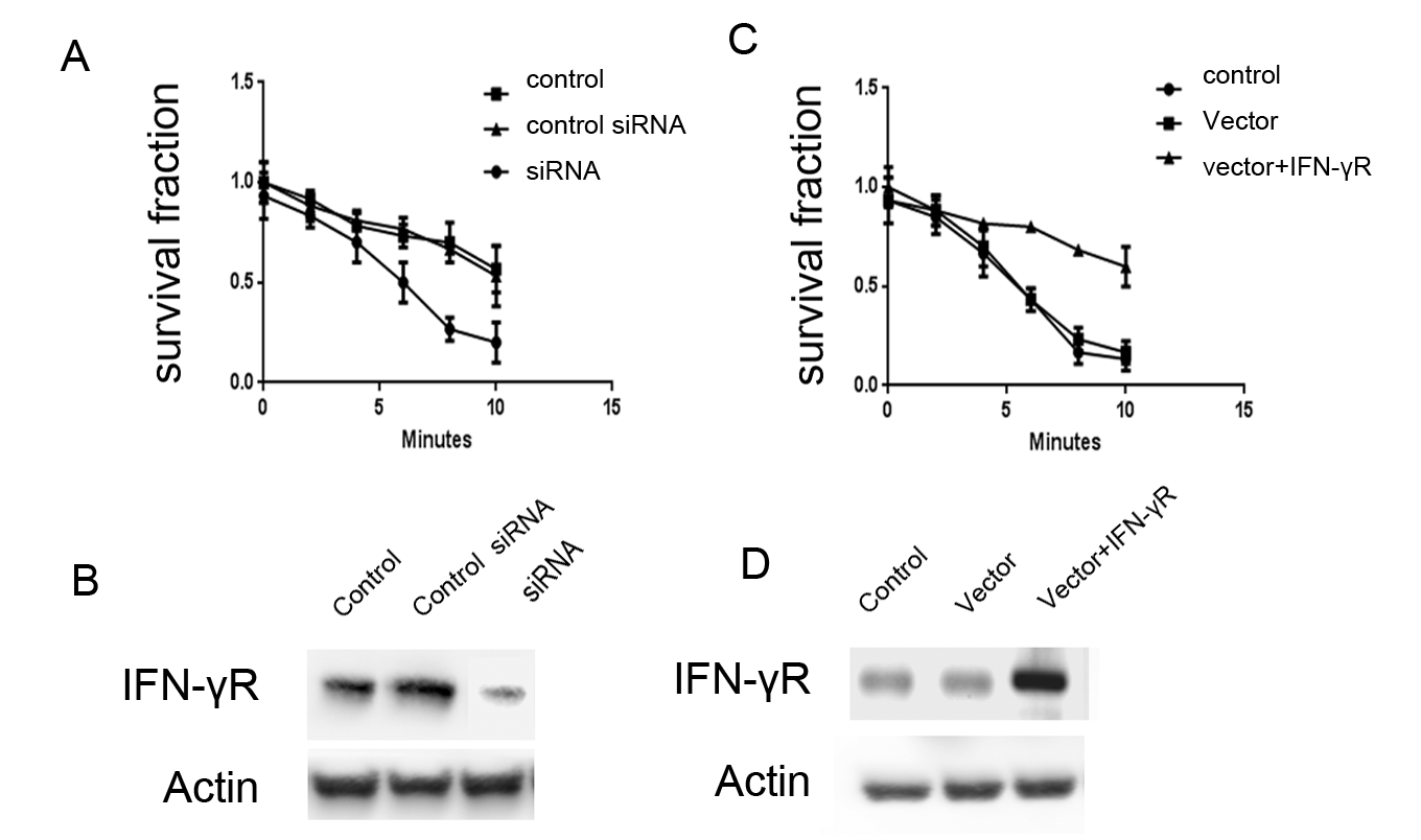 Figure 3. Effects of IFN-γR expression on the radio-sensitivity of CNE-1 cells. A: Expression of IFN-γR decreased in IFN-γR RNAi cells. B: Knock-down of IFN-γR promoted the radio-sensitivity of CNE-1 cells. C: Expression of IFN-γR increased after positive transfection. D: Forced IFN-γR expression inhibited the radio-sensitivity of CNE-1 cells.